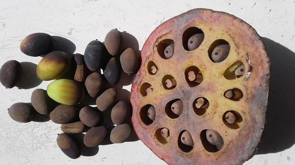 Семена лотоса каспийского