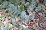 Трава копытень