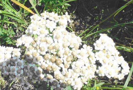 Тысячелистник цветущий