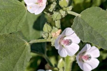 Цветки алтея лекарственного
