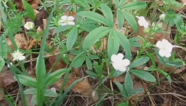 Лапчатка белая