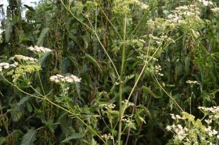 Ядовитая трава болиголова
