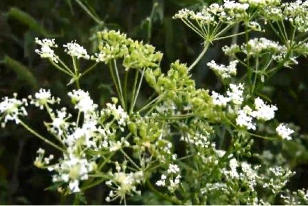 Цветки болиголова