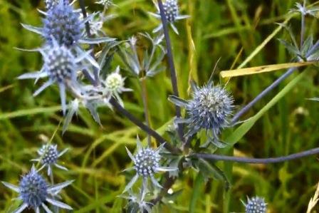 Трава синеголовник