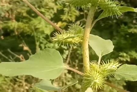 Растение дурнишник