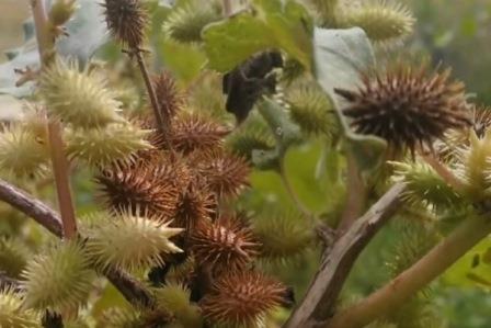 Семена дурнишника