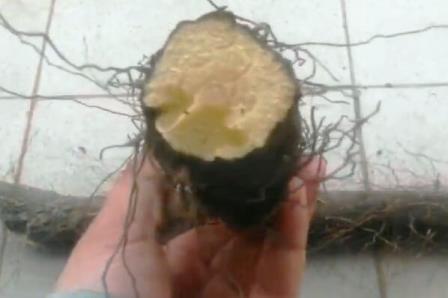 Омик корень