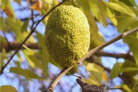 Маклюра фрукт