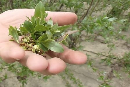 кора ивы с листьями