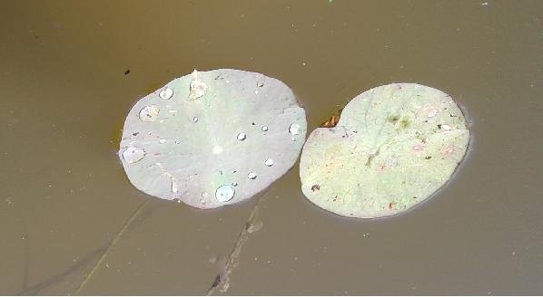 Первые листочки лотоса