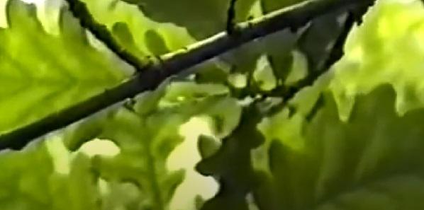 Дуба кора