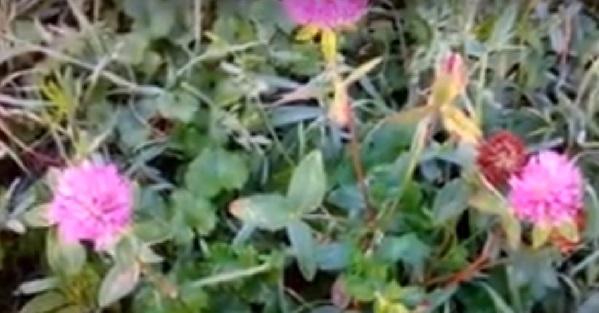 Красный луговой клевер