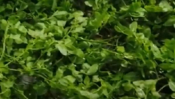 Черника листья