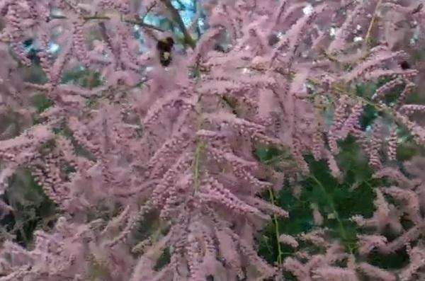тамарикс в цвете