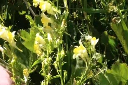 Льнянка трава