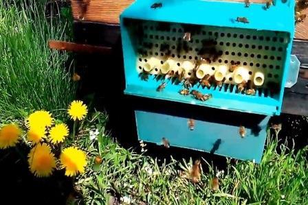 Сбор пыльцы у пчел