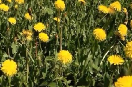 Цветки одуванчика лекарственного