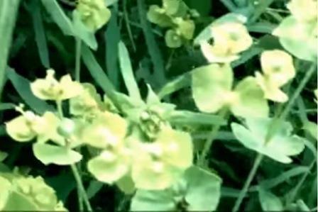 Цветение молочай палласа