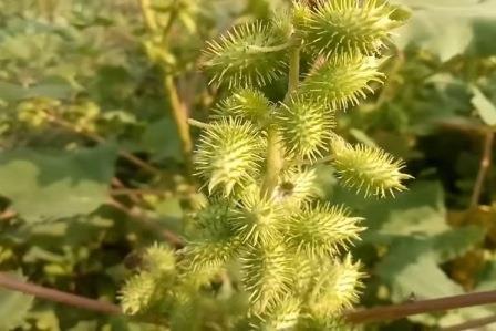 Зеленый плод дурнишника