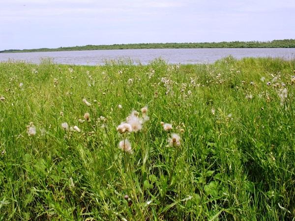 Бодяк полевой на заливном луге