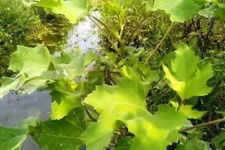 Дурнишник растение