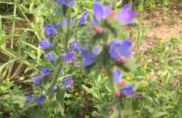 Трава синяк медонос