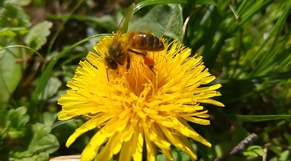 Пчелы носители иммунитета
