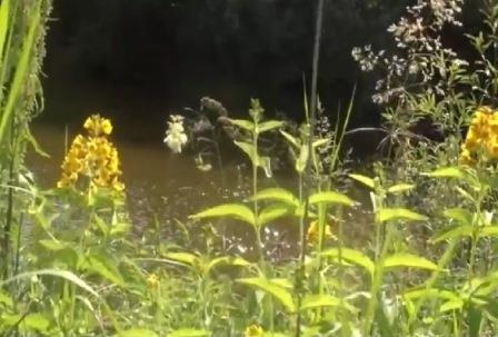 Трава вербейник