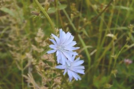 Цикорий целебная трава