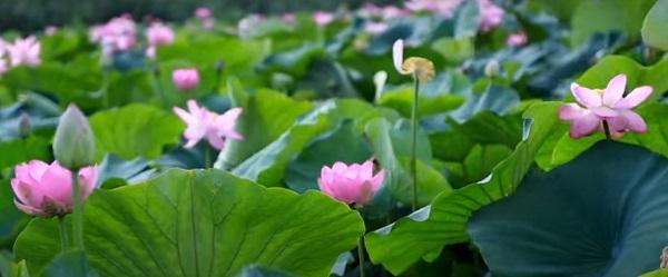 лотос каспийский цветение
