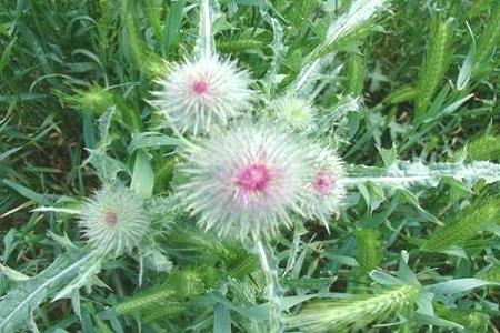 Расторопша цветет
