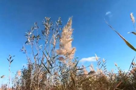 Тростник цветущий