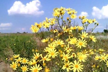 Трава крестовник цветущая