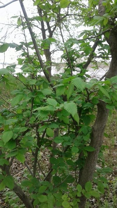 листья вяза