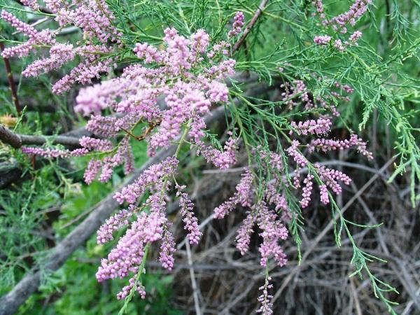 Цветущий тамарикс