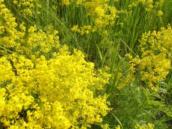 Цветущий подмаренник настоящий желтый
