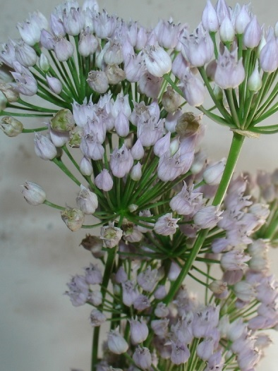 Цветущий лук угловатый