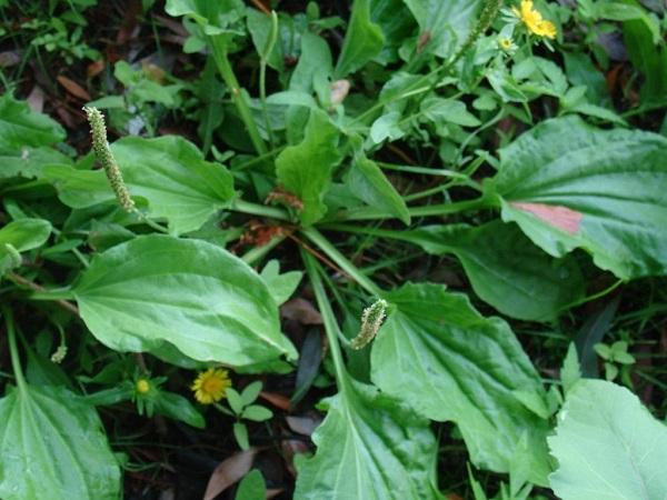 Подорожник семена на стрелке