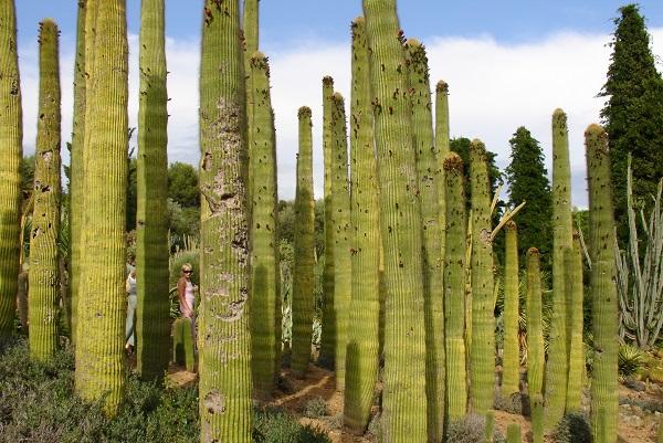 Колоновидные гиганты кактусы