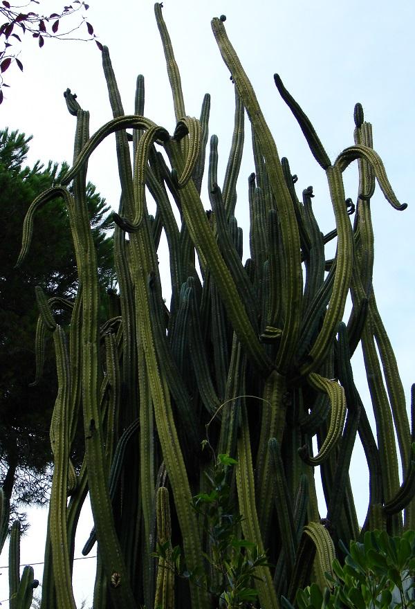 высоченный кактус