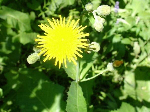 цветок осота полевого