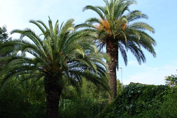 Пальмы Пинья де Роса