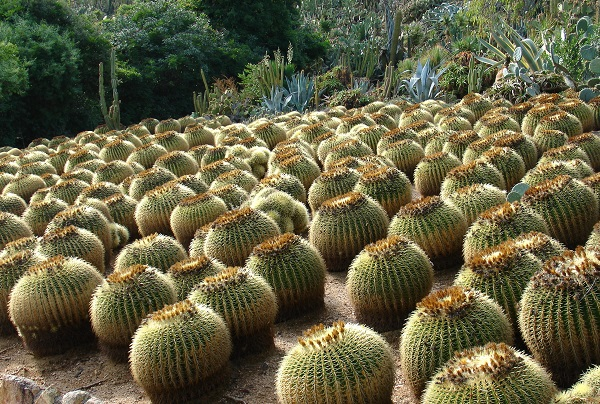 Круглые колючие кактусы