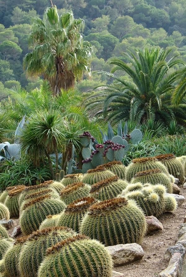 эхинокактус грусона в ботаническом саду