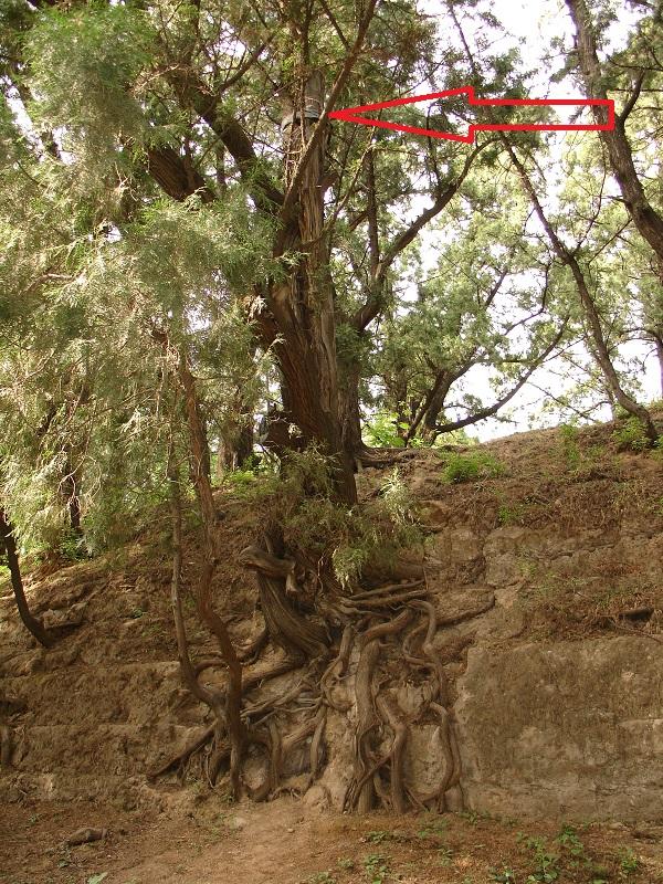 раненое дерево