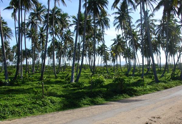 Пальмовый лес в Доминикане