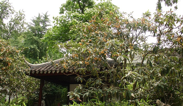 плодовое дерево Китая