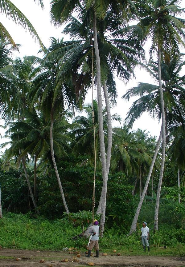 Сбор кокосов с пальмы