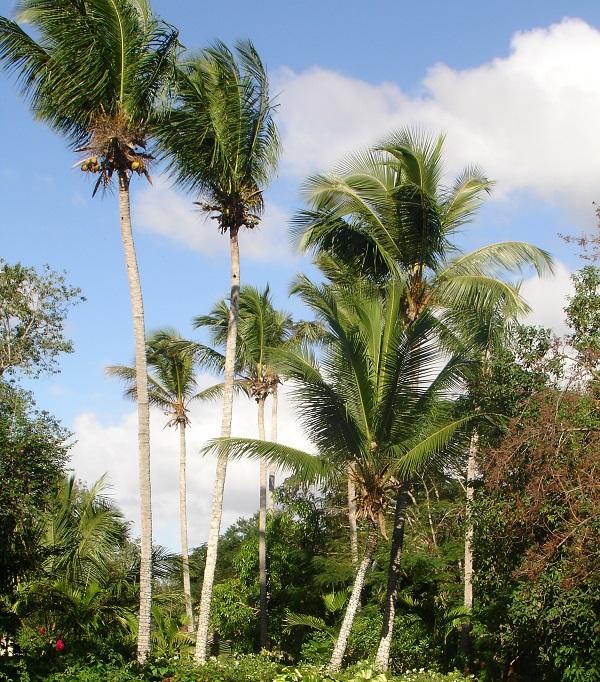 Пальмы Доминиканы