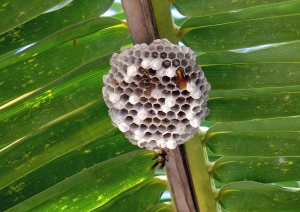 Пчелы Гаити